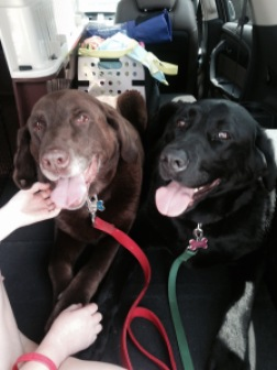Coco & Gypsy during our transport for Chicagoland Lab Rescue